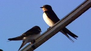 swallow_affrica
