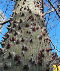 arbre punxegut